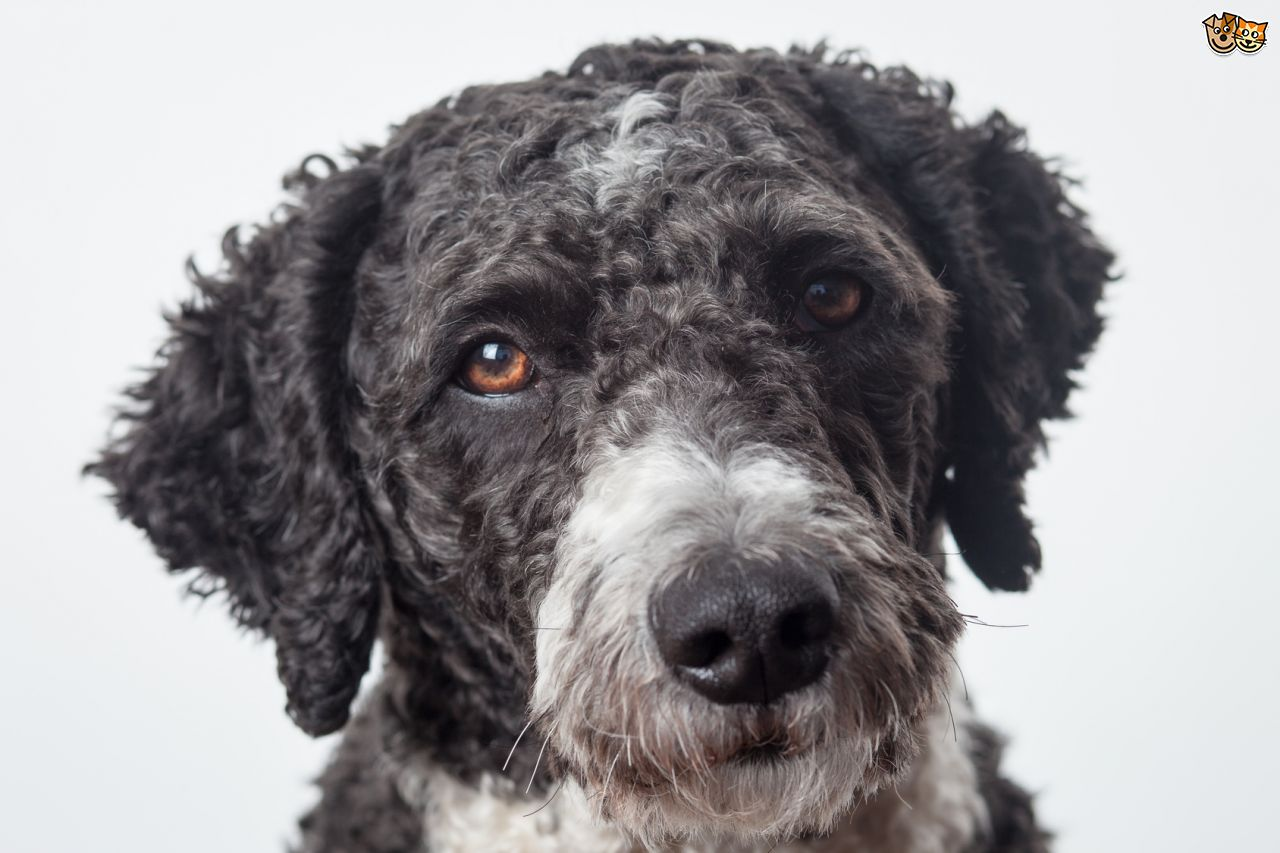 Spanish Water Dog: Spanish Home Breed