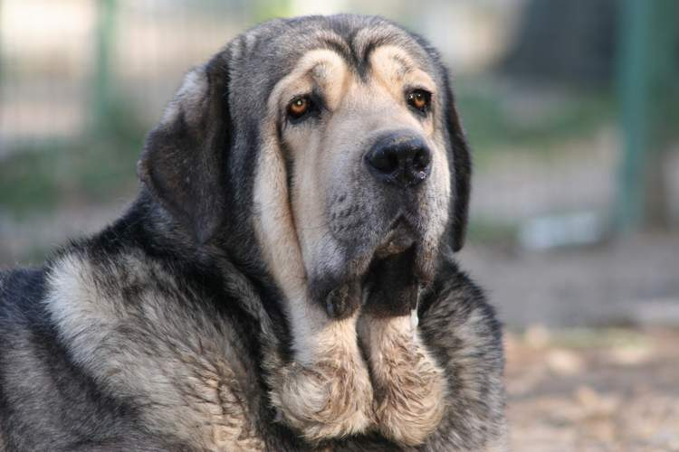 Spanish Mastiff Dog: Spanish Mastiffobelix Breed