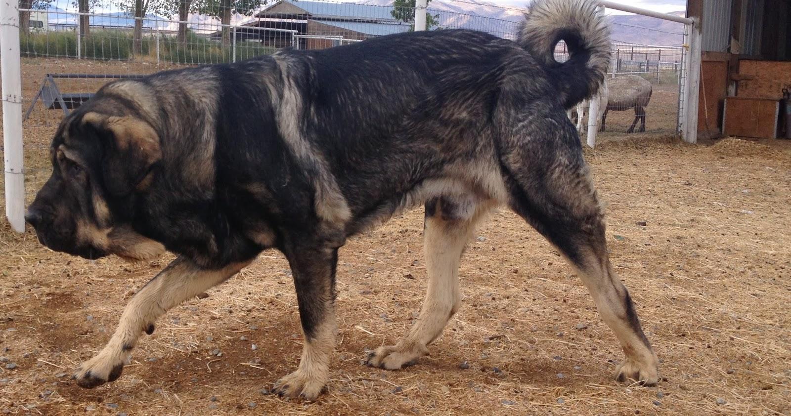 Spanish Mastiff Dog: Spanish My Third Spanish Mastiff Litter Is Due Breed