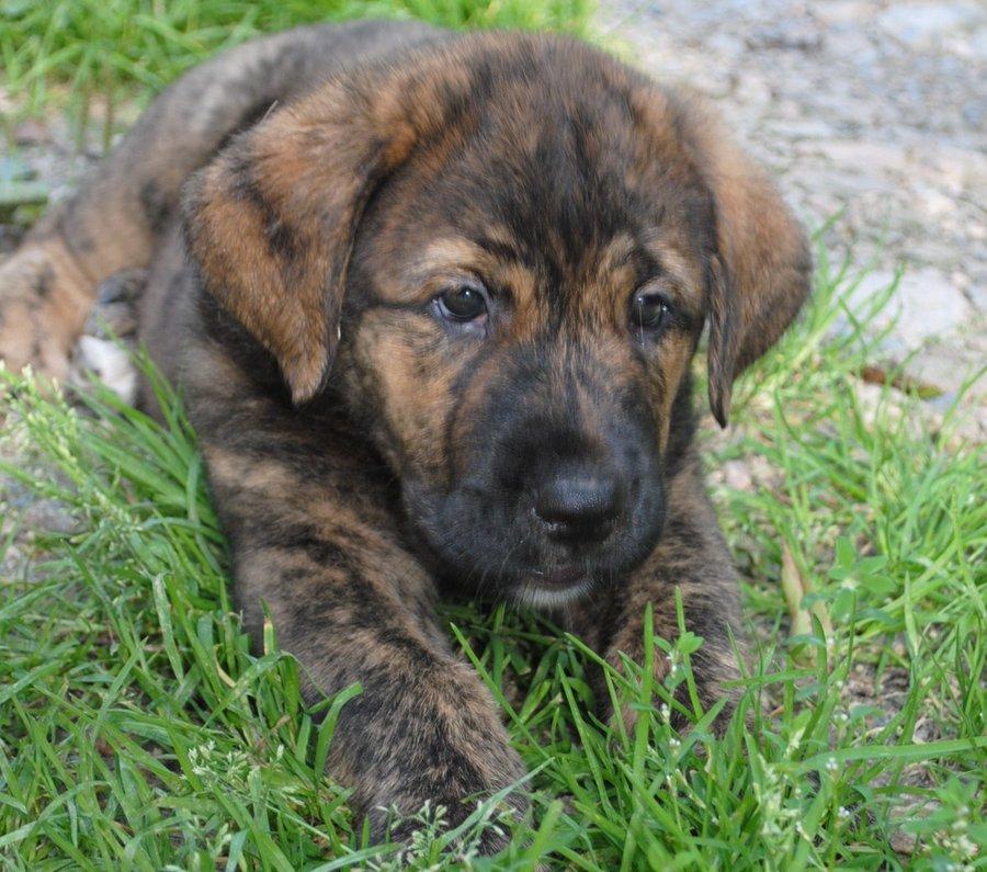Spanish Mastiff Puppies: Spanish Spanish Mastiff Breed
