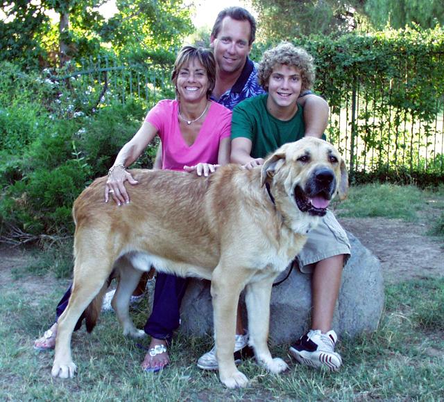 Spanish Mastiff Puppies: Spanish Spanish Mastiff Ga Khong Lo Buong Binh Goc Tay Ban Nha Breed