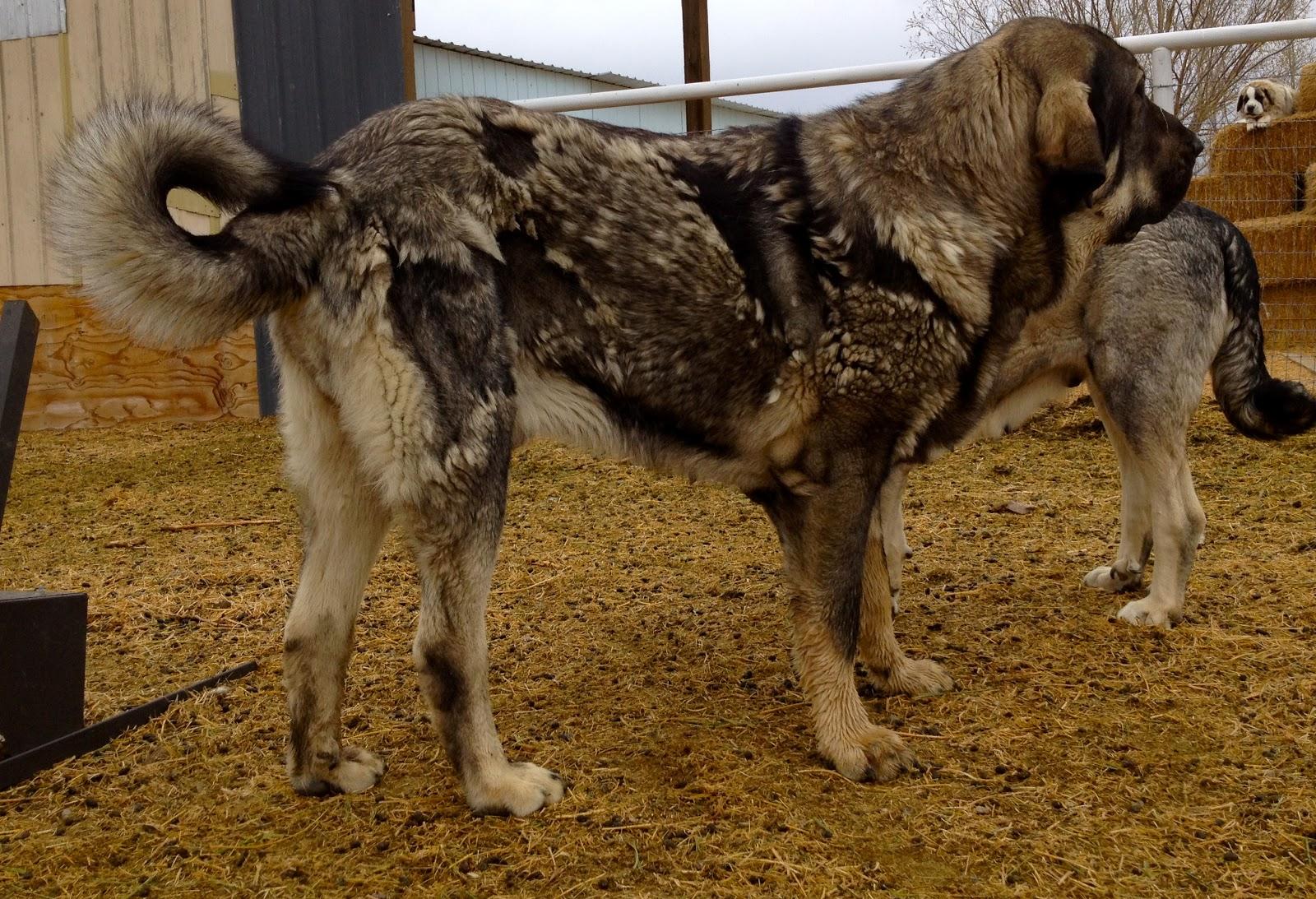 Spanish Mastiff Puppies: Spanish Spanish Mastiff Puppies Coming Soon Breed