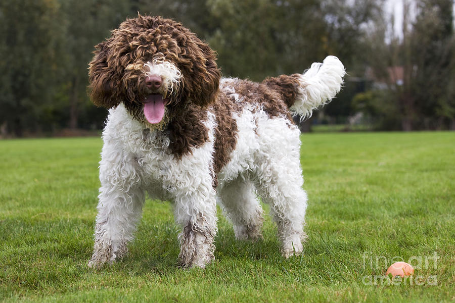 Spanish Water Dog: Spanish Spanish Water Dog Johan De Meester Breed