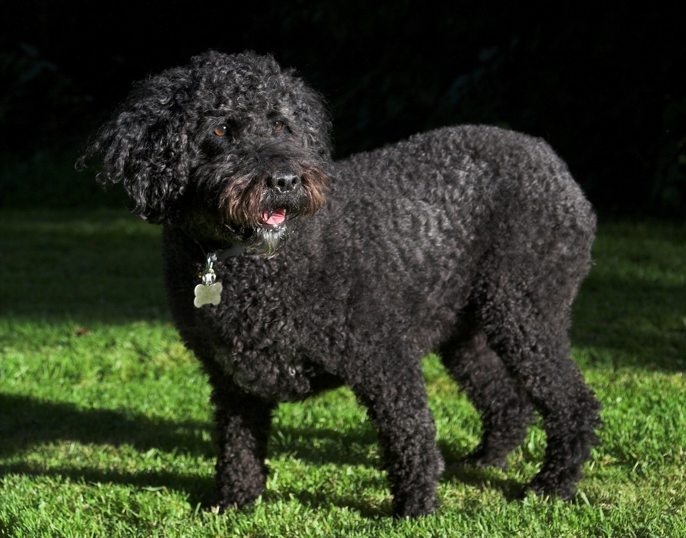 Spanish Water Dog: Spanish Spanish Water Dog On The Grass Breed