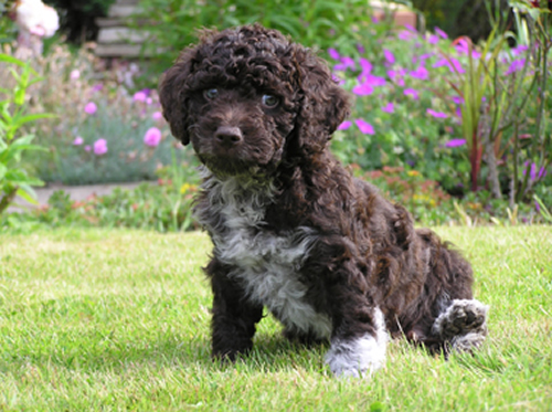 Spanish Water Puppies: Spanish Spanish Water Dog Puppies Breed
