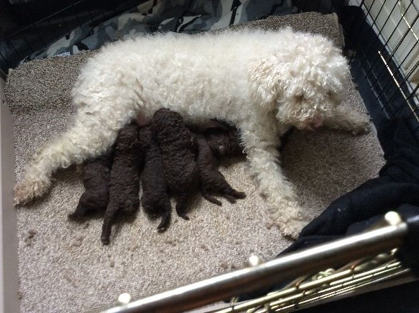 Spanish Water Puppies: Spanish Spanish Water Dog Puppies Leicester Leicester Breed