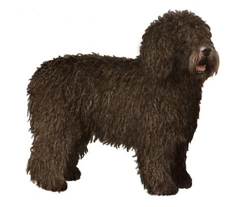 Spanish Water Dog: Spanish Spanishwaterdog Breed