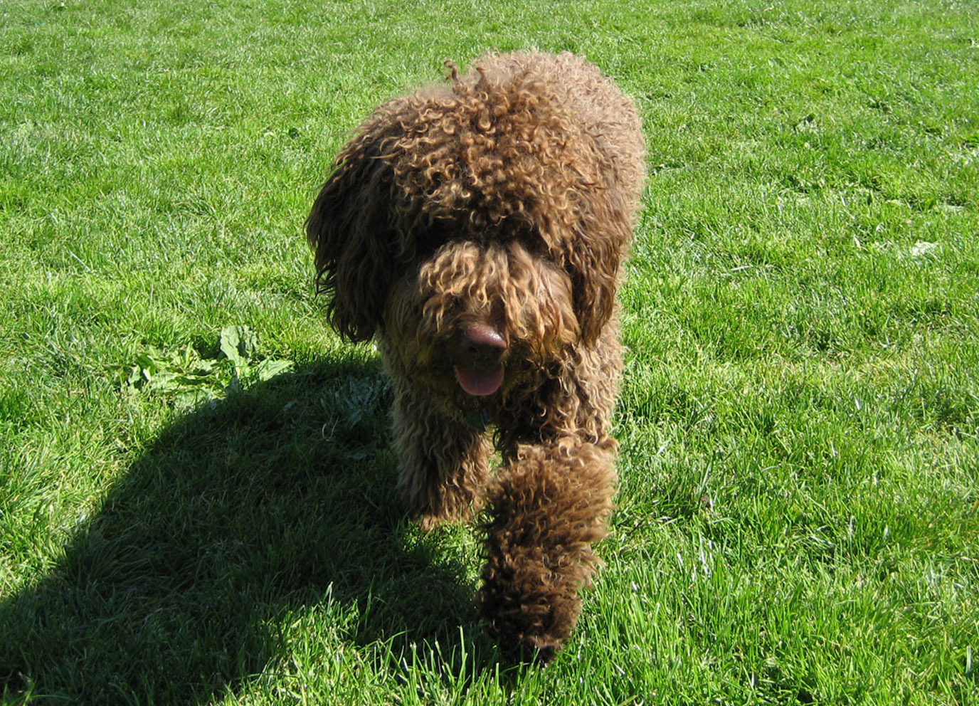 Spanish Water Dog: Spanish Walking Spanish Water Dog Breed