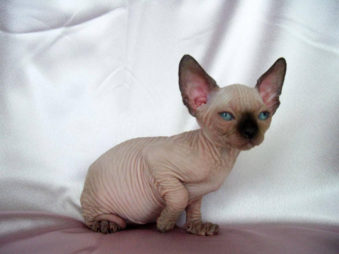 Sphynx Kitten: Sphynx Babyrah Breed