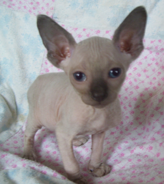 Sphynx Kitten: Sphynx Bluepointsphynxkittenpicture Breed