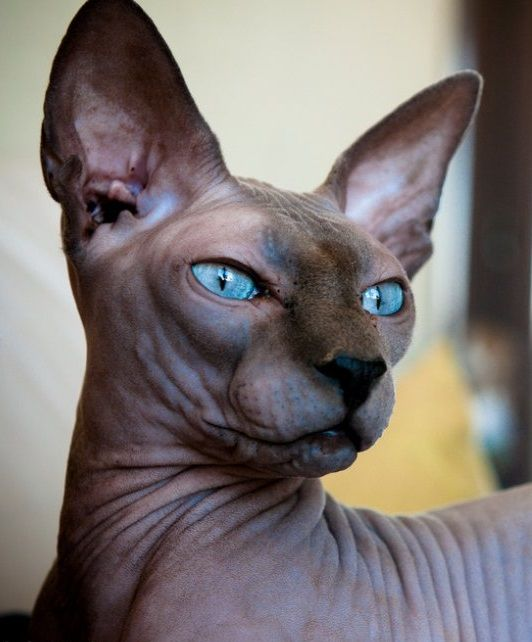 Sphynx Cat: Sphynx Breed