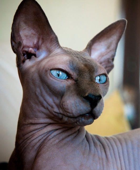 Sphynx Cat: Sphynx Breed