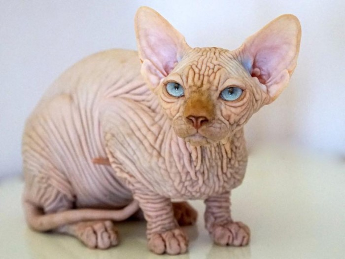 Sphynx Kitten: Sphynx Faune Sphynx Breed