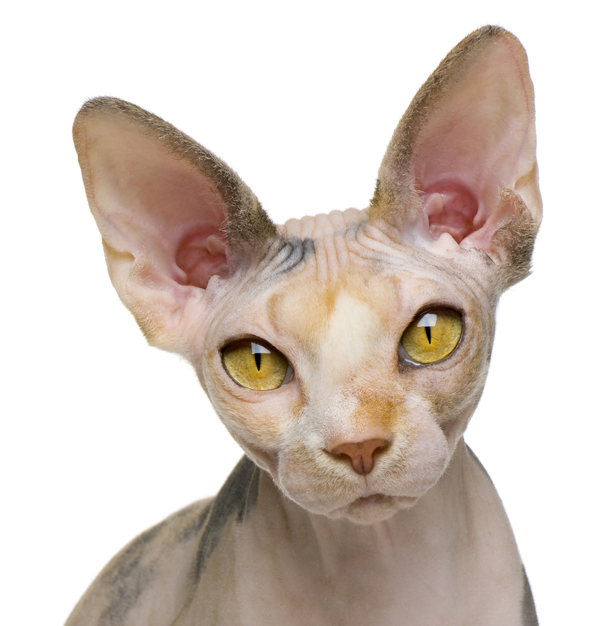 Sphynx Cat: Sphynx Funnycats Breed