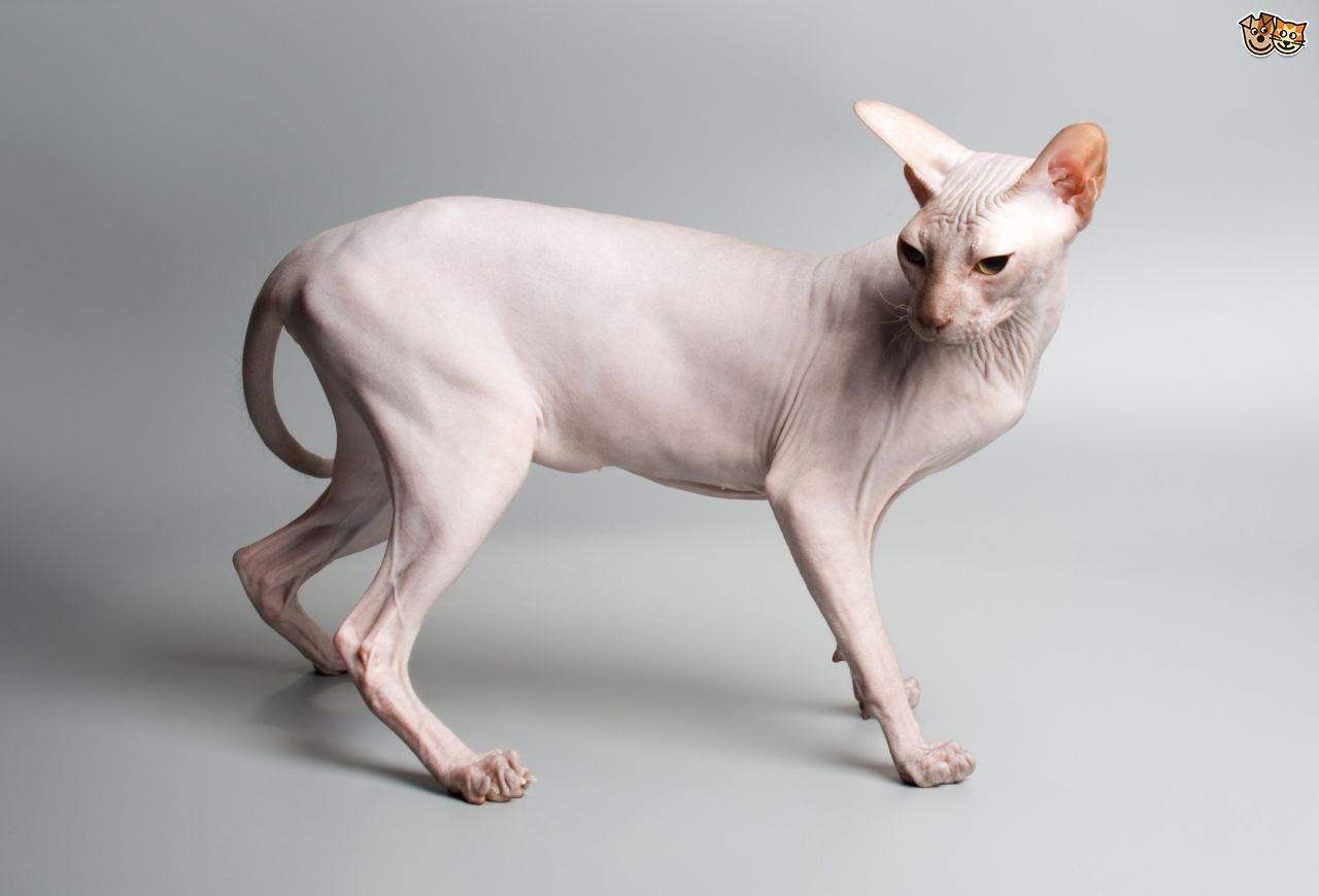 Sphynx Cat: Sphynx How To Make Sure A Sphinx Cats Skin Stays Healthy Breed