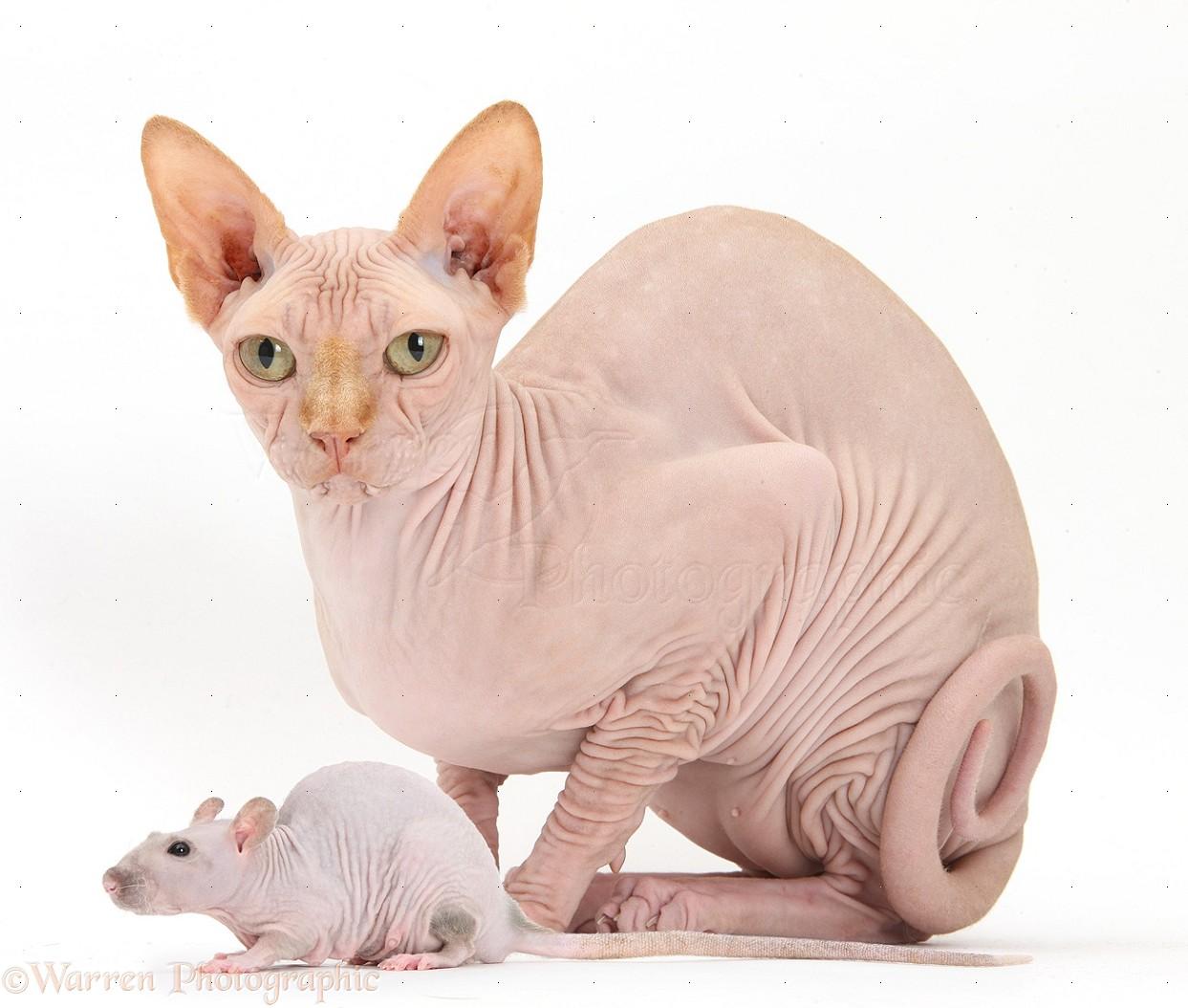 Sphynx Cat: Sphynx Sphynx Cat And Sphynx Rat Breed