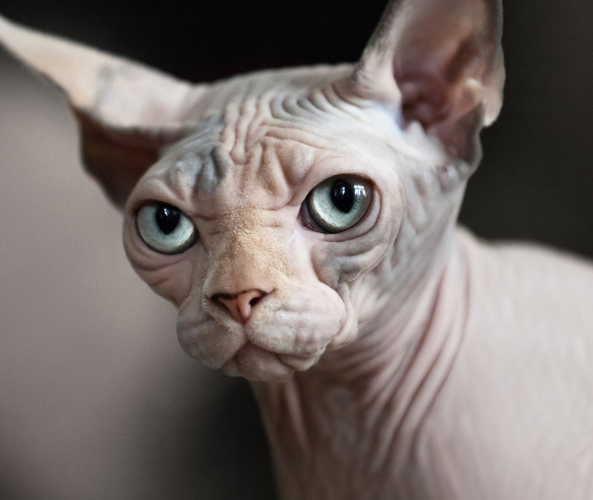 Sphynx Cat: Sphynx Sphynx Cat Breeders