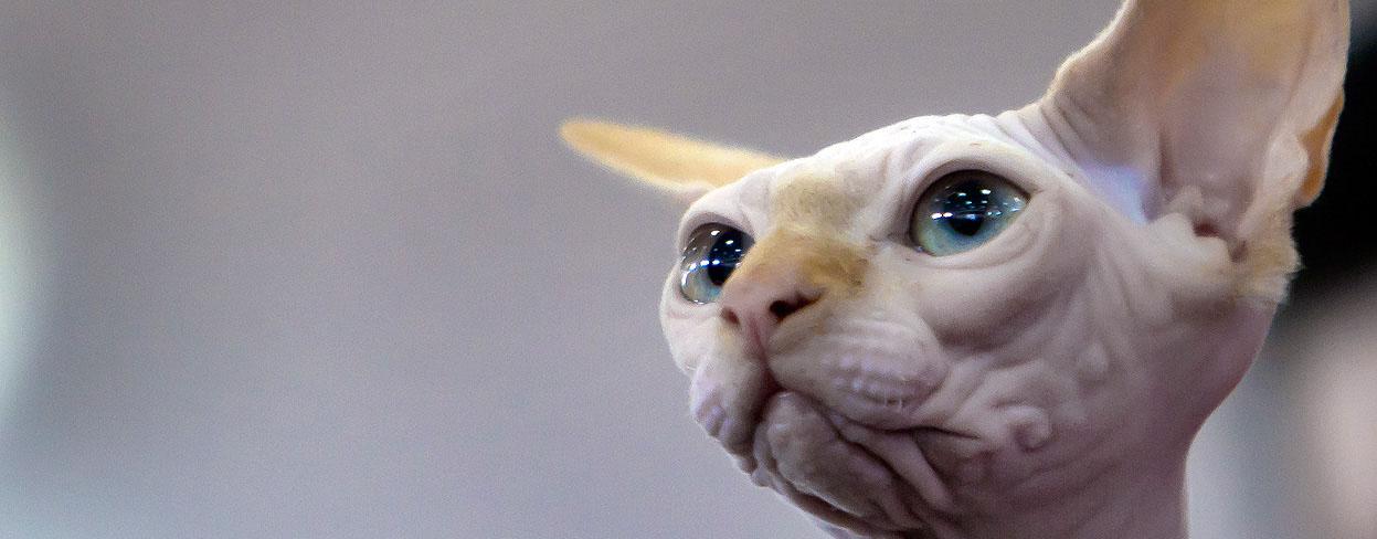 Sphynx Cat: Sphynx Sphynx Cat Cat Breeds Petfinder