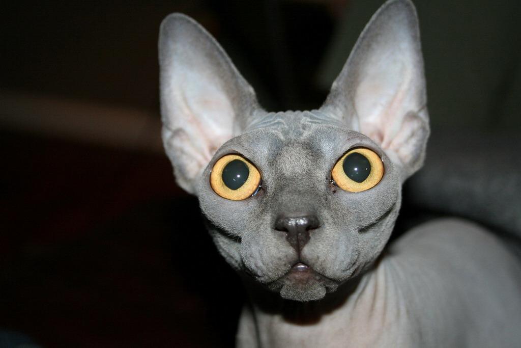 Sphynx Kitten: Sphynx Sphynx Cat Kittens Breed