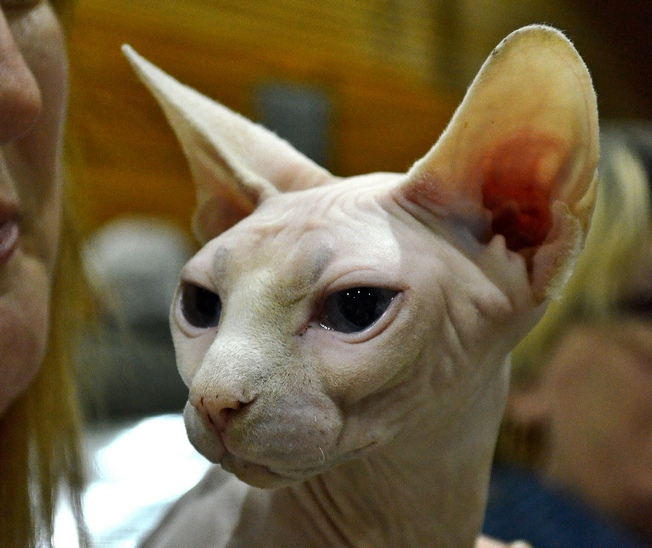 Sphynx Cat: Sphynx Sphynx Cats Breed