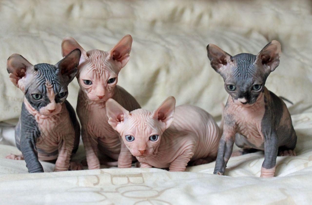 Sphynx Kitten: Sphynx Sphynx Kittens Sphynx Sphynx Cats Sphynx Breeders