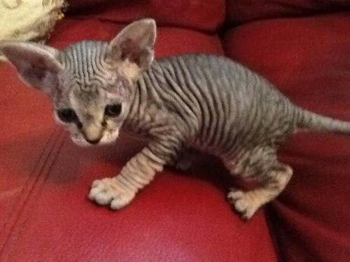 Sphynx Kitten: Sphynx Sphynx Sphynx Kitten Sphynx Kittens Sphynx Kitten Uk Breed