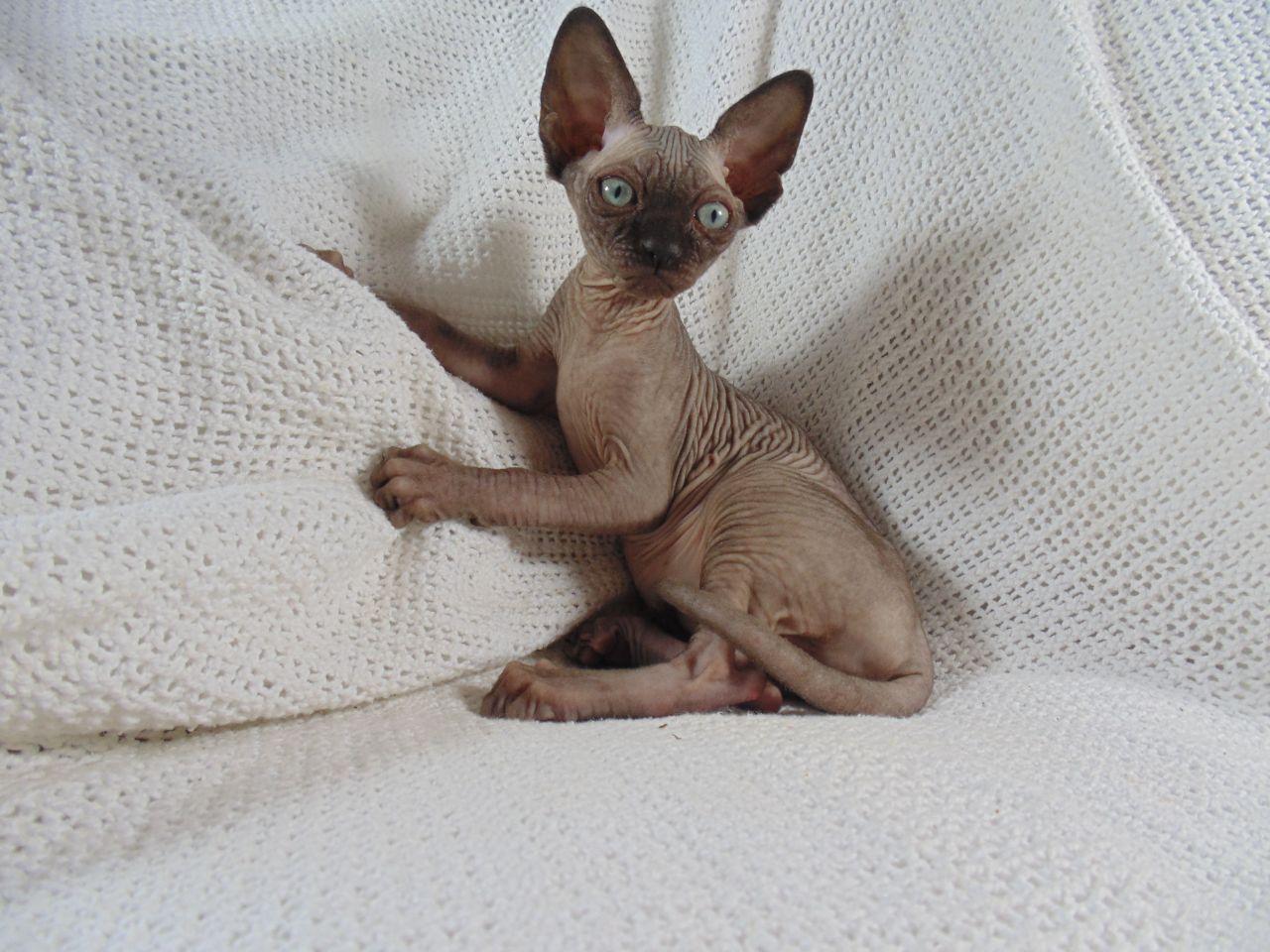 Sphynx Kitten: Sphynx Sphynxcat Breed
