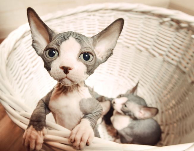 Sphynx Cat: Sphynx Youre Wrong If You Think Sphynx Cats Are Creepy Breed