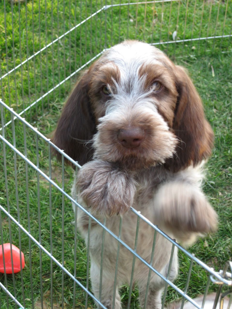 Spinone Italiano Puppies: Spinone Background Picturesfbistancomcgriffon Ramsey And Geoff Ramsey Roosterteethctimberdoodlespinonecomsgraphicsolsiartjpgc Breed
