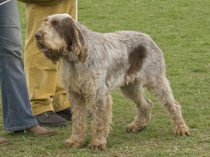 Spinone Italiano Puppies: Spinone Breed Profile Spinone Italiano