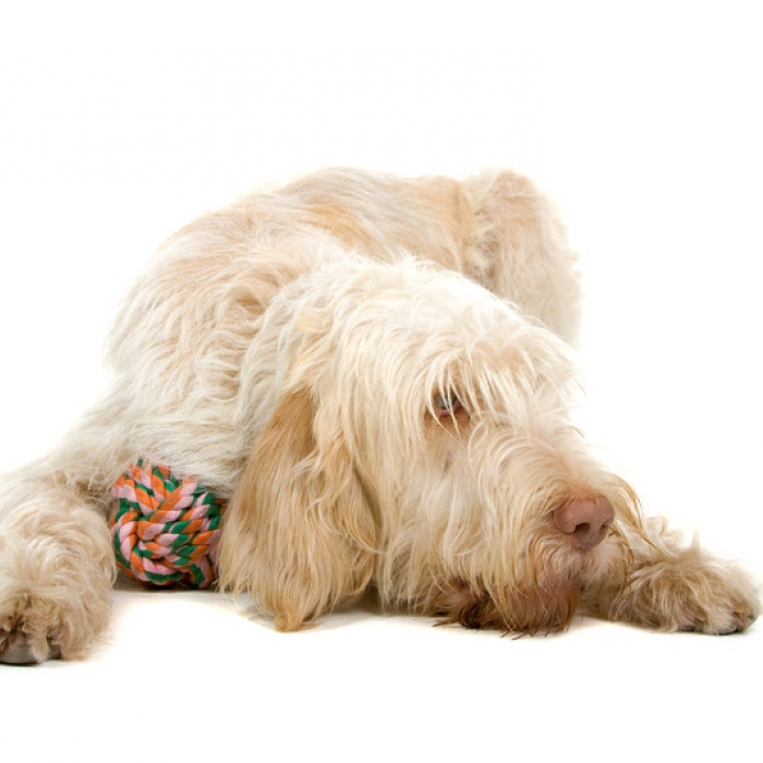 Spinone Italiano Puppies: Spinone Italian Spinone Puppies For Sale Breed