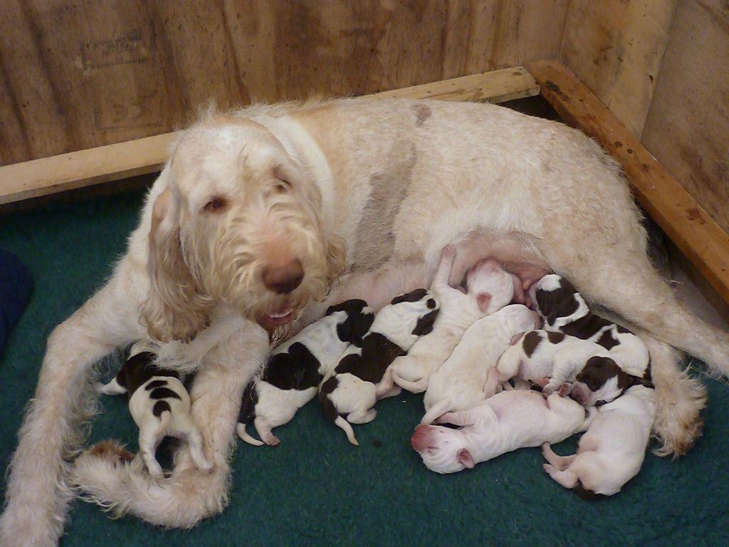 Spinone Italiano Puppies: Spinone Italian Spinone Puppies Royston Breed