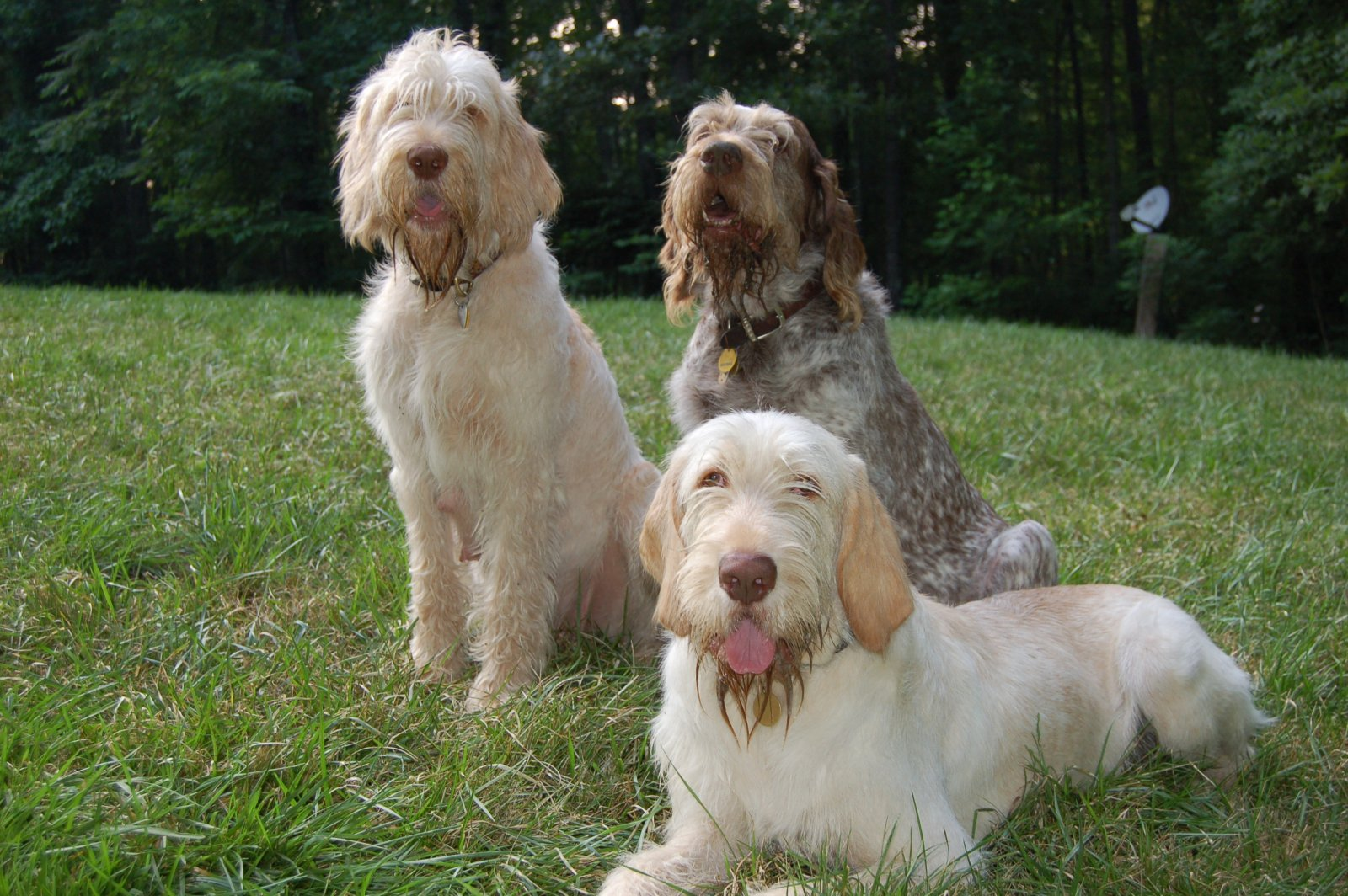 Spinone Italiano Puppies: Spinone M Fotos Perros Nes Breed