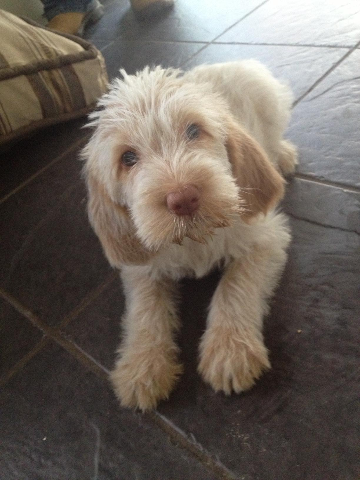 Spinone Italiano Puppies: Spinone Meet Willow A Week Old Italian Spinone Pup Breed
