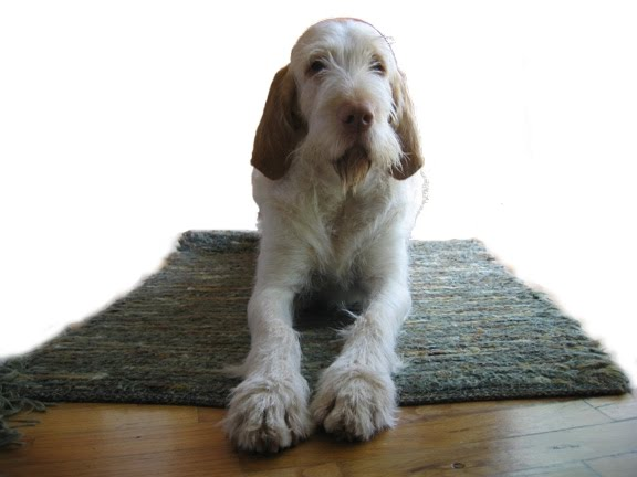 Spinone Italiano Dog: Spinone Spinone Italiano Dog Breed S