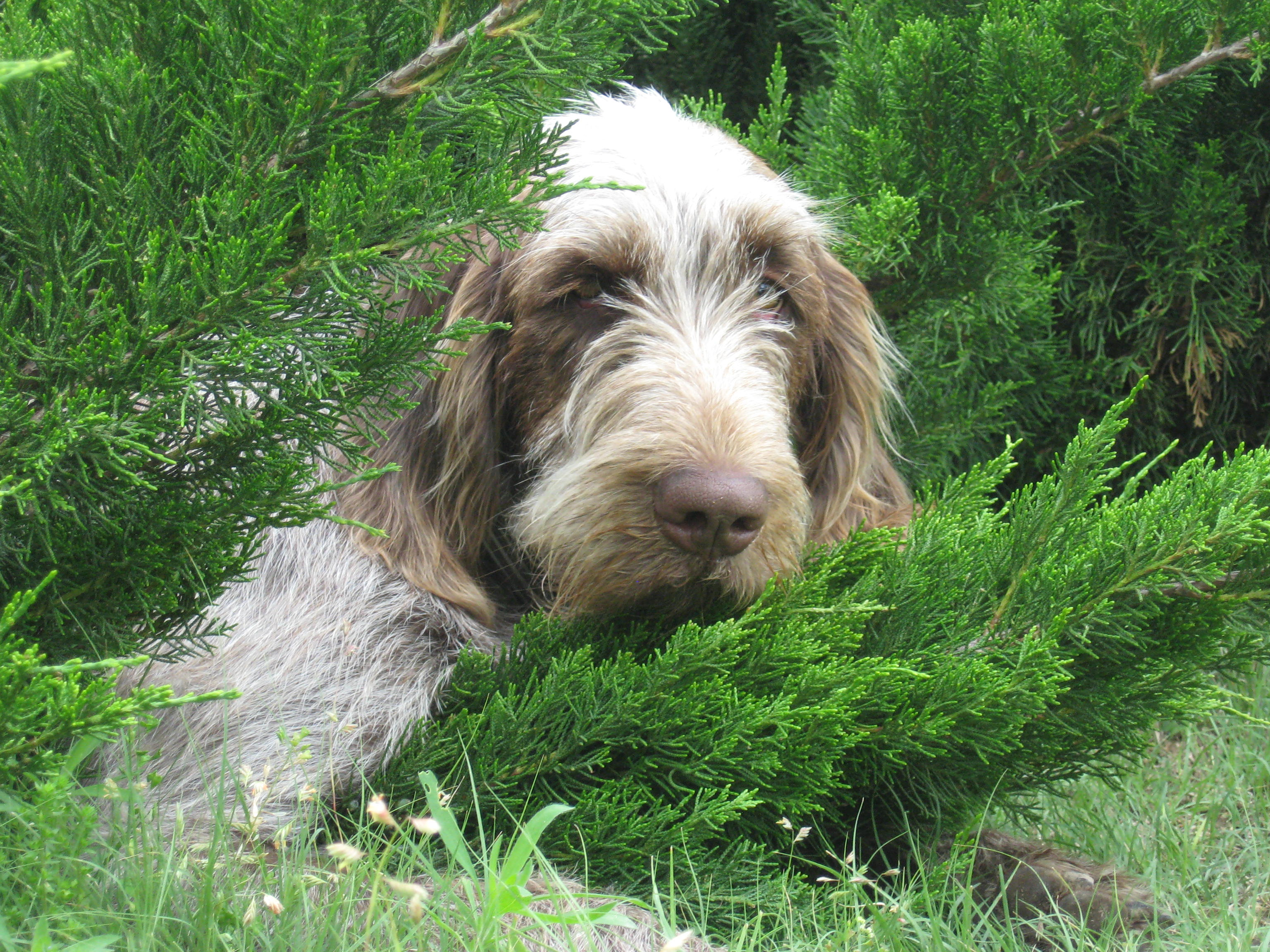 Spinone Italiano Puppies: Spinone Spinone Italiano Information And Puppies For Sale Breed