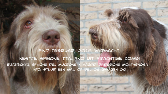 Spinone Italiano Puppies: Spinone Spinone Italiano Puppies Op Komst Breed