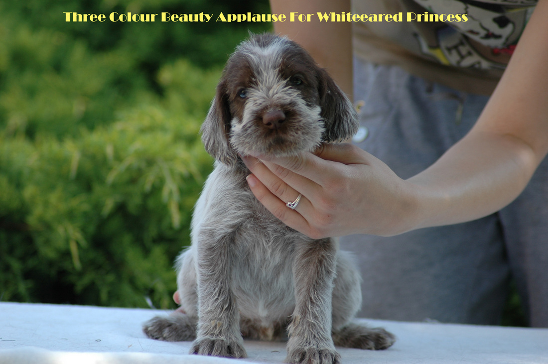 Spinone Italiano Puppies: Spinone Spinone Italiano Puppies Weeks Old Breed