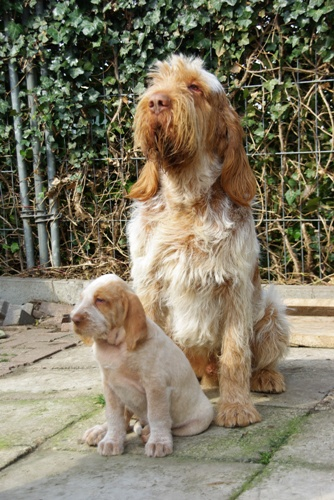 Spinone Italiano Puppies: Spinone Valper Eng Breed