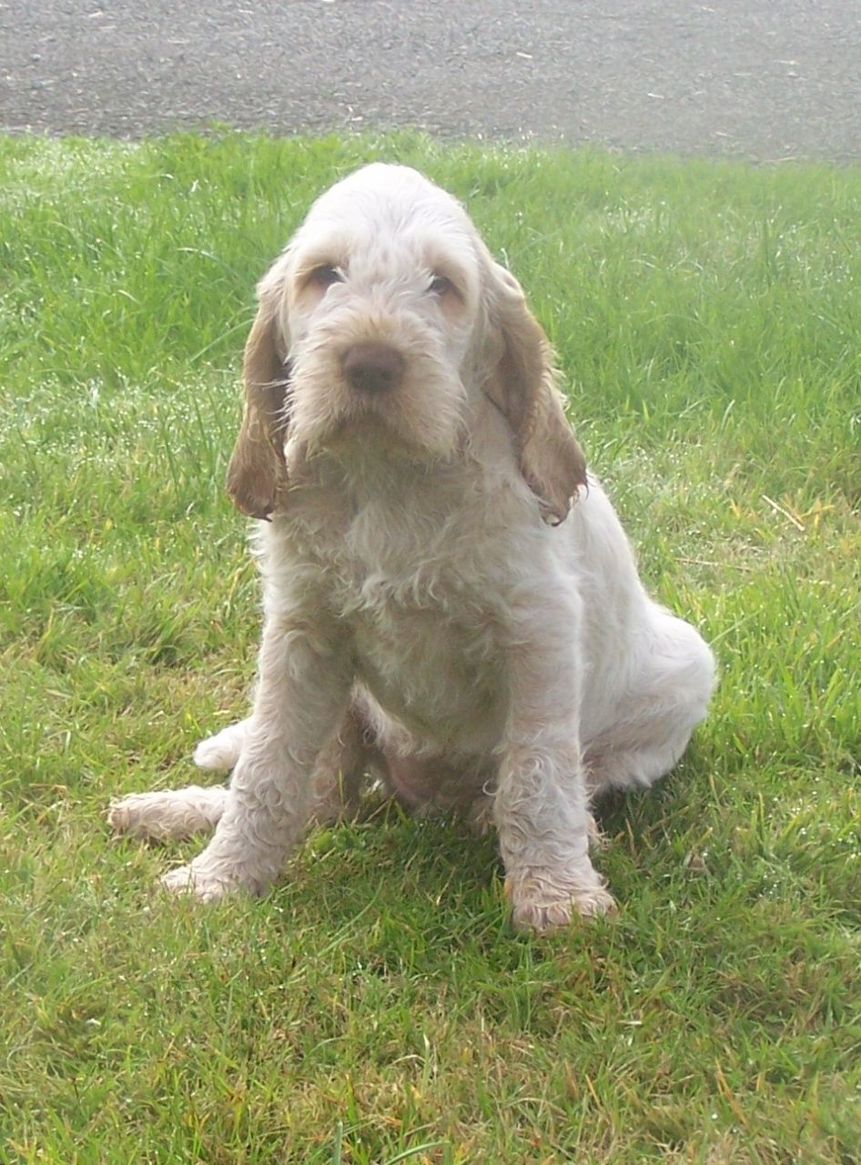 Spinone Italiano Puppies: Spinone Very Handsome Chunky Golden Retriever Dog Ellesmere Breed