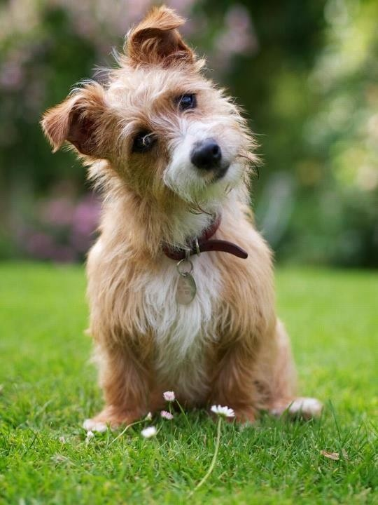 Sporting Lucas Terrier Puppies: Sporting Breed