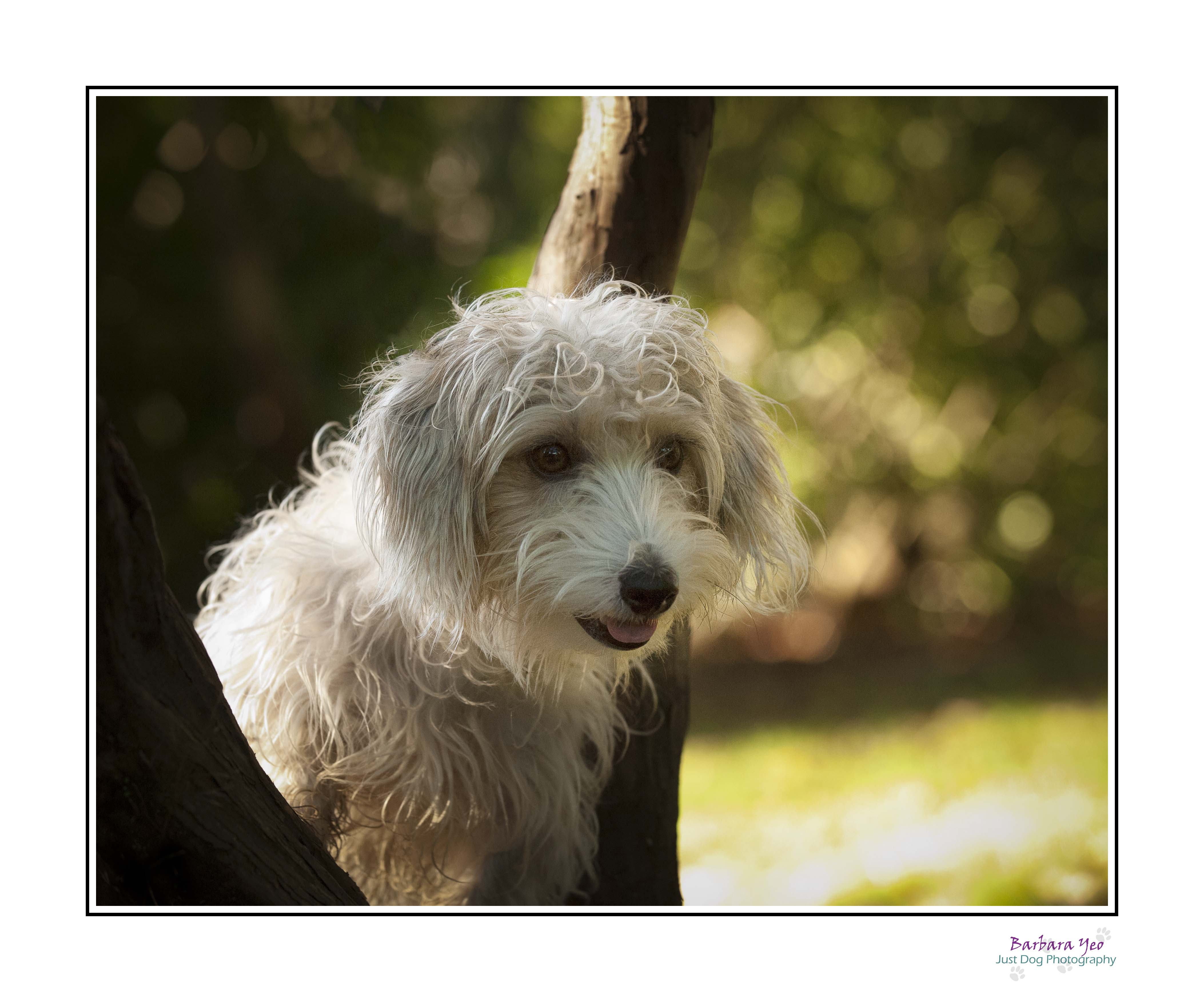 Sporting Lucas Terrier Dog: Sporting Lucas Terrier Breed