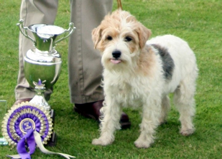 Sporting Lucas Terrier Dog: Sporting Nice Sporting Lucas Terrier Breed