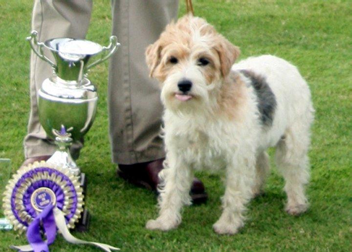 Sporting Lucas Terrier Dog: Sporting Nice Sporting Lucas Terrier Breed