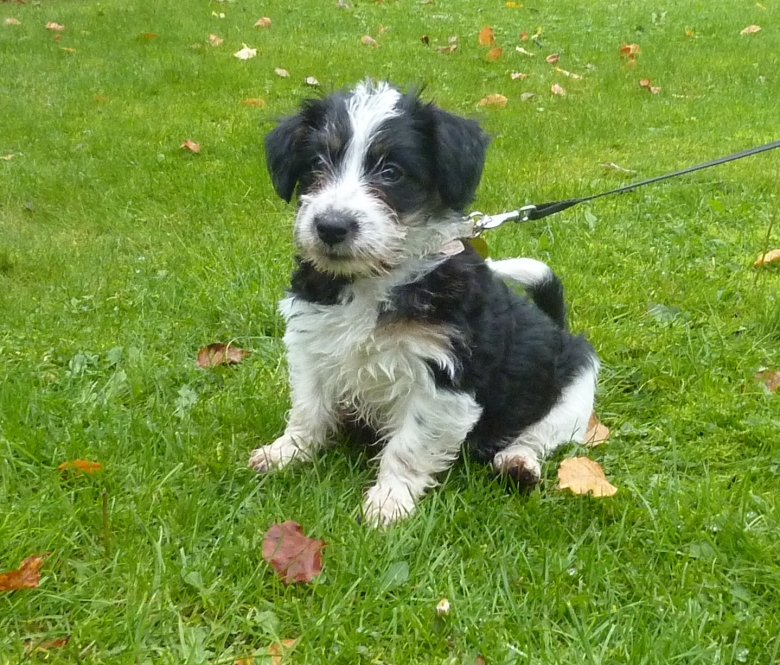 Sporting Lucas Terrier Puppies: Sporting Puppies Breed