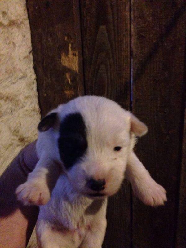 Sporting Lucas Terrier Dog: Sporting Sporting Lucas Terrier Blairgowrie Breed