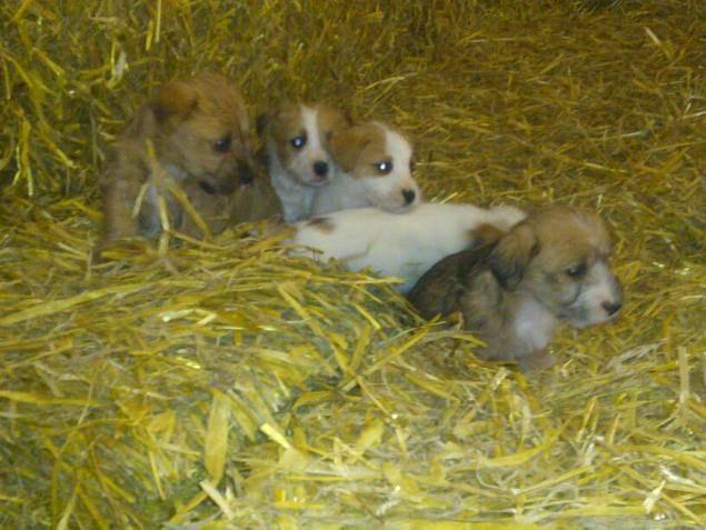 Sporting Lucas Terrier Puppies: Sporting Sporting Lucas Terrier Breed