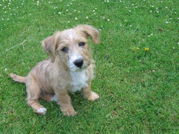 Sporting Lucas Terrier Dog: Sporting Sporting Lucas Terrier Ccf A Ba Fbded Breed