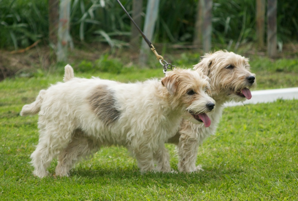 Sporting Lucas Terrier Puppies: Sporting Sporting Lucas Terrier Dogs Breed