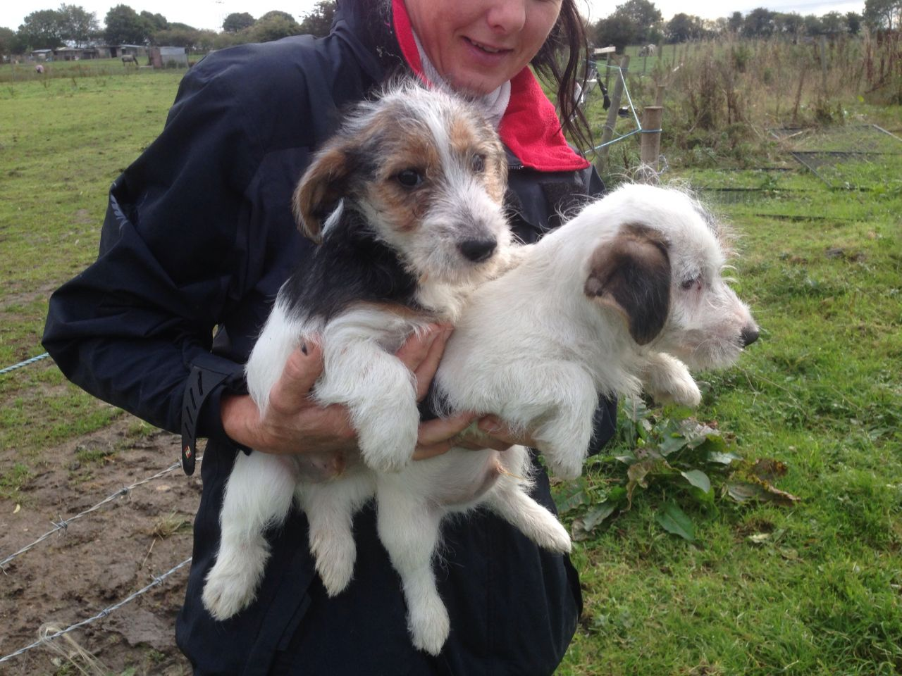 Sporting Lucas Terrier Puppies: Sporting Sporting Lucas Terrier Puppies Leeds Breed